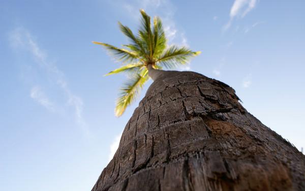 Кокосовая пальма (вид снизу)