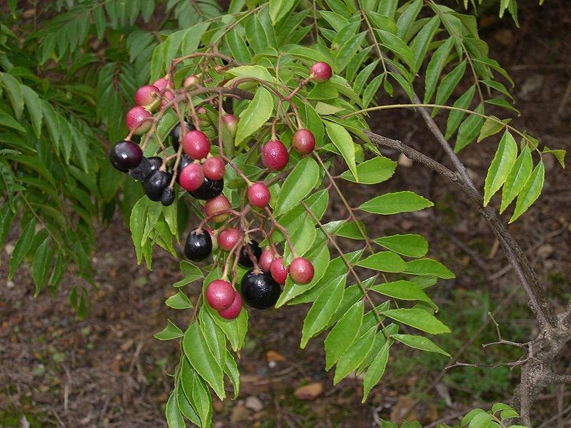 Ягоды и листья карри